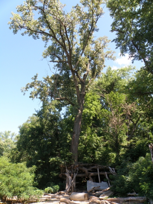 Cottonwood tree fort, Falls of the Ohio, Aug. 2013