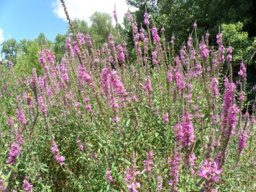 Purple Loosestrife flowers in bloom, Falls of the Ohio, Aug. 2013