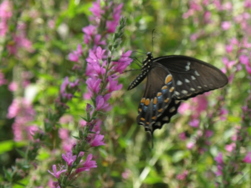 Spicebush Swallowtail on Purple Loosestrife, Aug. 2013