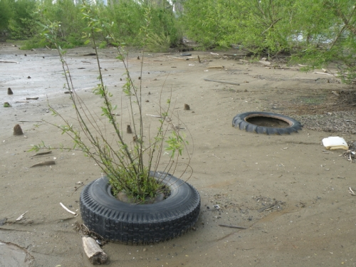 willow tree growing through a tire