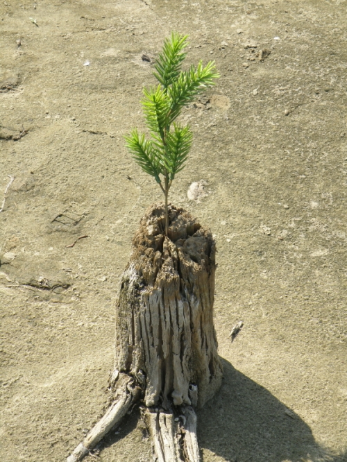 plastic pine growing out of a stump, Sept. 2013