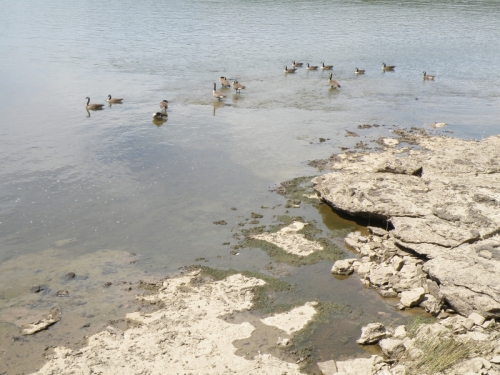 Canada Geese and fossil rock at the Falls of the Ohio, Aug. 2013