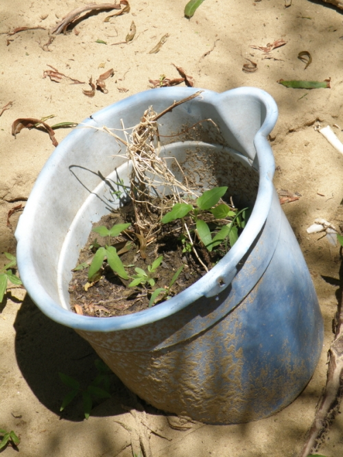 plants growing in a found bucket, Falls of the Ohio, Sept. 2013