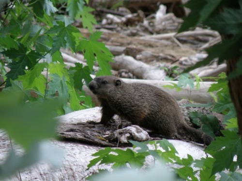Woodchuck or groundhog at the Falls of the Ohio, Aug. 2013