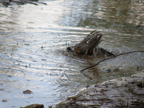 American Robin bathing at the Falls of the Ohio, Summer 2013