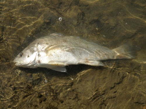 Freshwater Drum, Falls of the Ohio, Sept. 2013