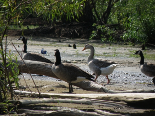 Domestic goose mixed with the Canada Geese, Falls, Sept. 2013