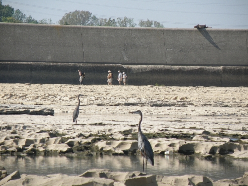 Great Blue Herons and hikers on the fossil beds, Falls of the Ohio, Sept. 2013
