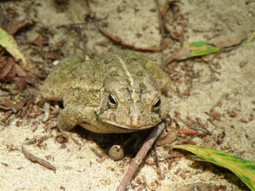The American Toad at the Falls of the Ohio, August 2013