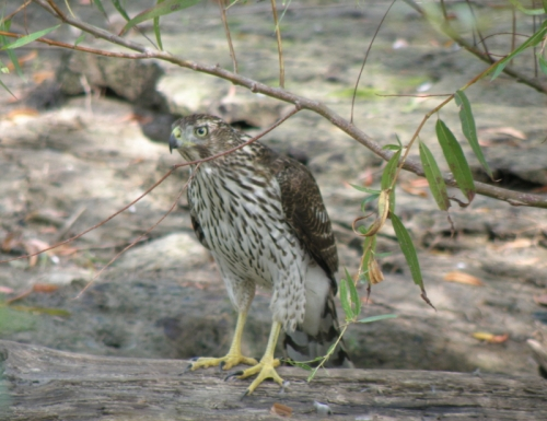 Young Cooper's Hawk, Falls of the Ohio, Sept. 2013