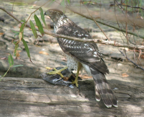 Young Cooper's Hawk with prey, Falls of the Ohio, Sept. 2013