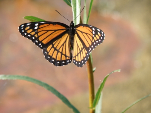 Viceroy butterfly, Falls of the Ohio, October 2013