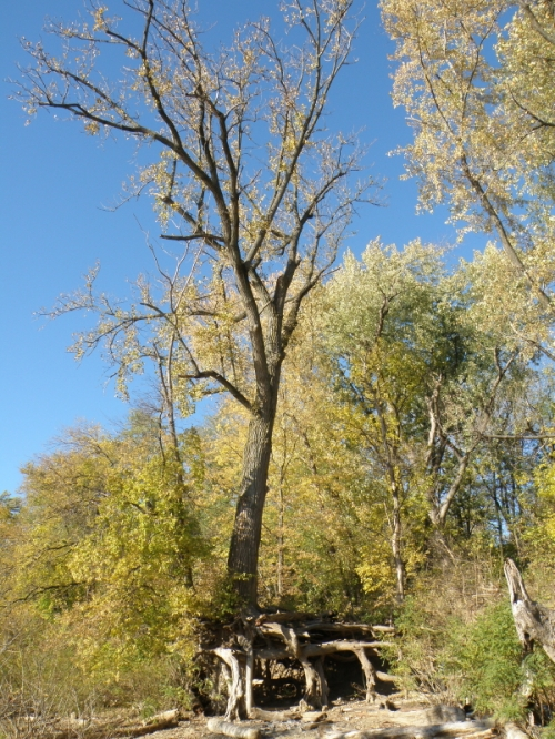 Cottonwood tree, late autumn, Nov. 2013