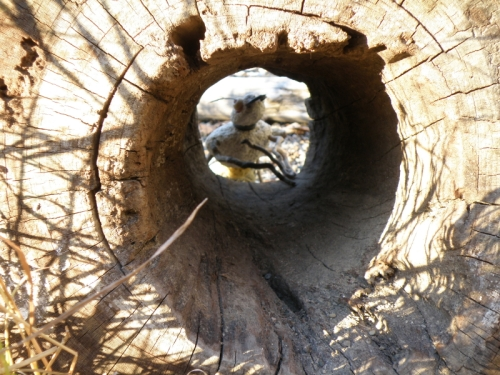 View of the beetle through the hollow log, Nov. 2013