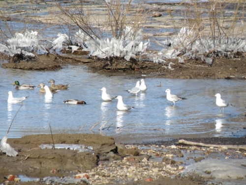 Ring-bill gulls and mallard ducks, Jan. 2014