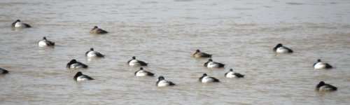 White-winged Scoters, Falls of the Ohio, Late Feb. 2014