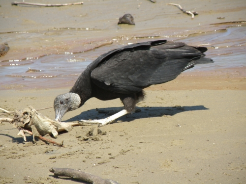 Black Vulture feeding on a dead fish, Falls of the Ohio, April 2014