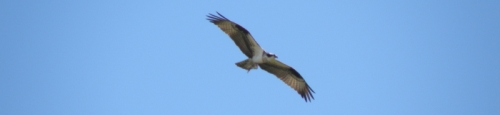 osprey, Falls of the Ohio, April 2014