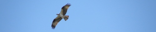 osprey, Falls of the Ohio, 2014
