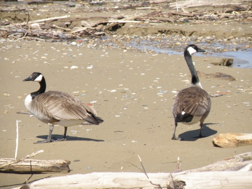 Canada Geese, Falls of the Ohio, April 2014