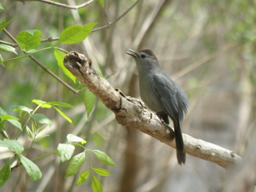 Gray Catbird singing, Falls of the Ohio, May 3, 2014