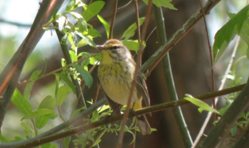 Palm Warbler, Falls of the Ohio, May 3, 2014