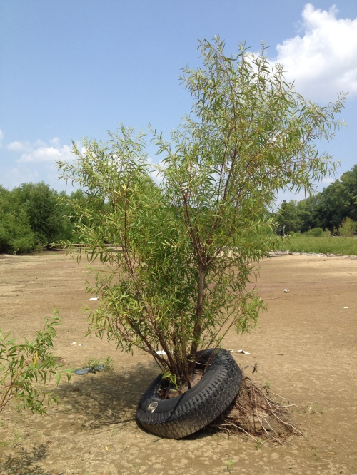 Willow tree growing out of a tire, Falls of the Ohio, Aug. 2014