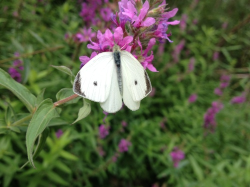 Cabbage white butterfly on loosestrife, Aug. 2014