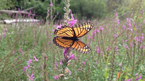 Viceroy butterfly on loosestrife flowers, Falls of the Ohio, Aug. 2014