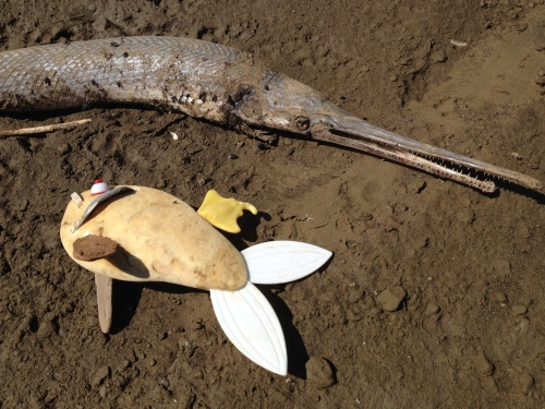 Dead Longnose gar and decaying Bull gill, Falls of the Ohio, Oct. 2014