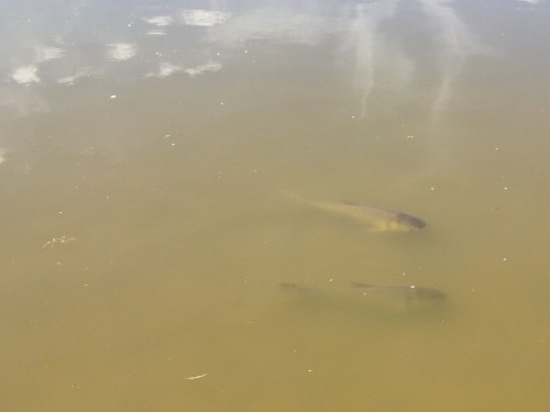 A pair of Grass Carp, Falls of the Ohio, Oct. 2014