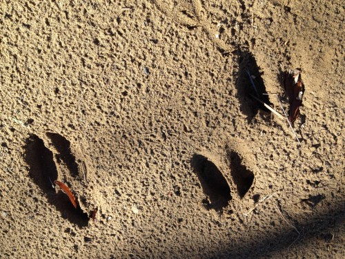 deer tracks in the sand, Falls of the Ohio, Oct. 2014