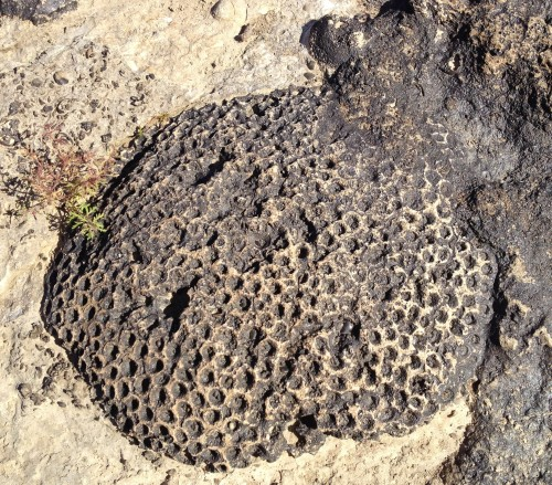 Exposed fossil coral, Falls of the Ohio, Oct. 2014