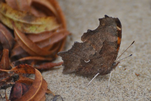 Comma butterfly with wings folded, Falls of the Ohio, Nov. 2014