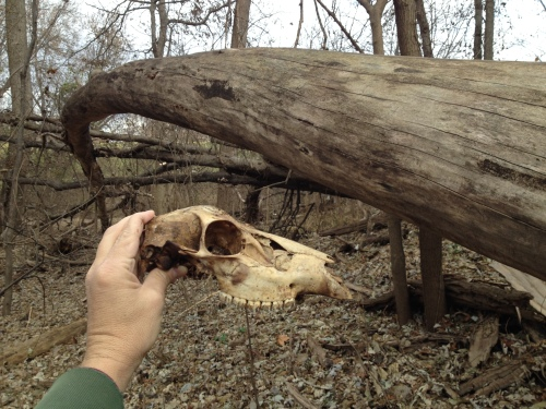 found deer skull, Falls of the Ohio, Dec. 2014