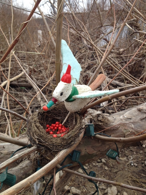 Christmas Bird with its display, Falls of the Ohio, Dec. 2014