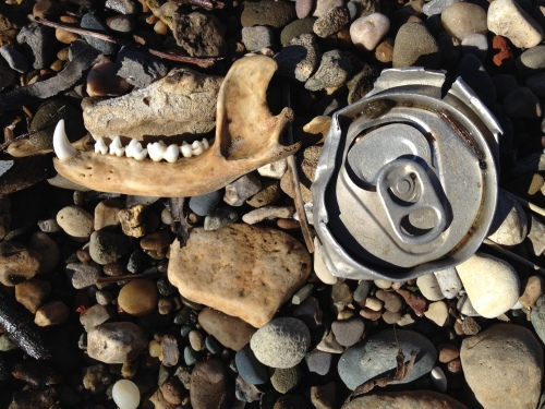 jaw bone and aluminum can top, Falls of the Ohio, Jan. 2015