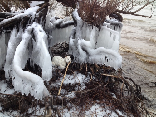 Polar Beaver feeding in its ice shelter, Falls of the Ohio, Feb. 2015