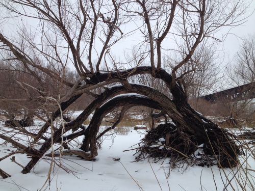 Old willow tree in winter, Falls of the Ohio, Feb. 2015