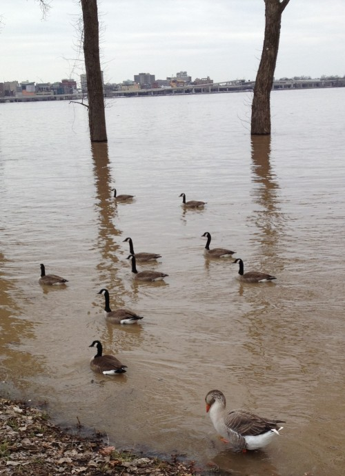 Flock of geese at the Falls of the Ohio, March 9, 2015