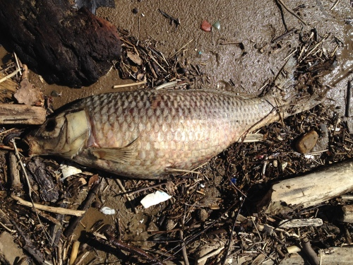 dead Asian carp, Falls of the Ohio, March 2015