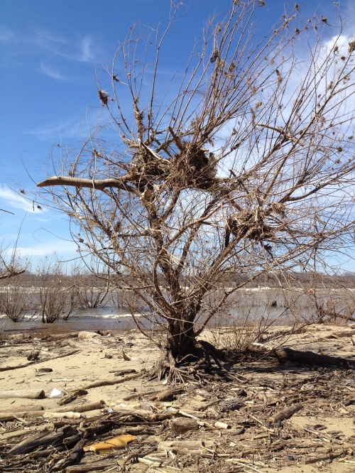 Willow tree, formerly underwater, with debris stuck in its branches, Falls of the Ohio, March 2015