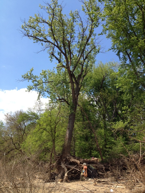 Large cottonwood tree, Falls of the Ohio, May 2015