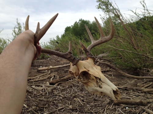 White-tail deer skull, Falls of the Ohio, May 2015