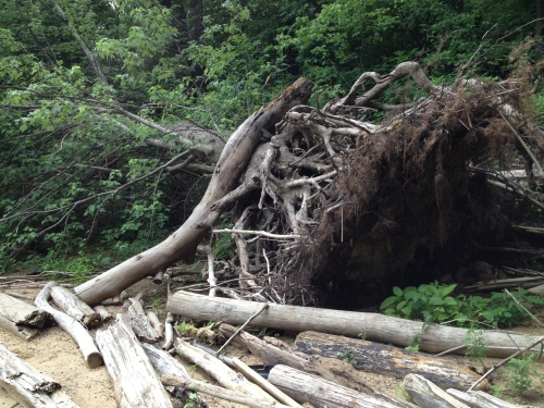 downed tree with log resting against it, Falls of the Ohio, June 2015