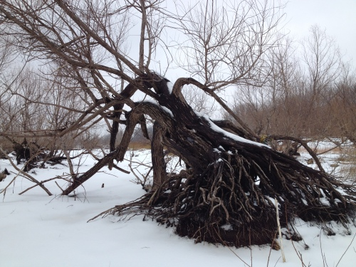 willow tree in winter, Feb. 2015