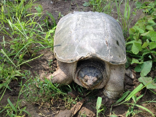 Large Common Snapping Turtle, Falls of the Ohio, July 18, 2015