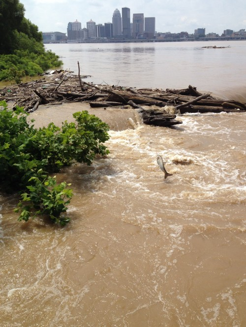 High Ohio River with jumping Asian carp, Falls of the Ohio, July 18, 2015