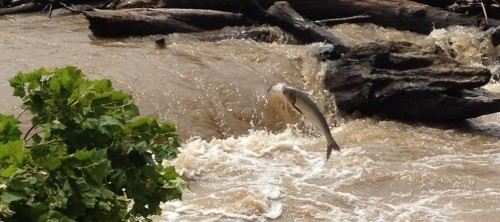 Jumping Asian carp, Falls of the Ohio, July 18, 2015