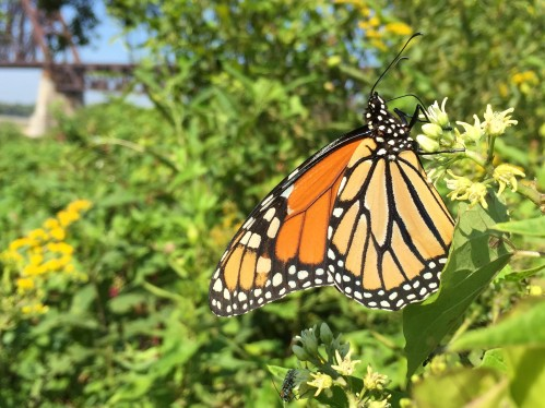 Monarch butterfly feeding at the Falls of the Ohio, mid August 2015